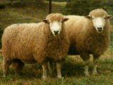 Growmark  sheep - cxvris jishebi