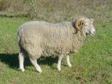 Gulf Coast Native  sheep - cxvris jishebi