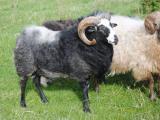 Gute  sheep - cxvris jishebi