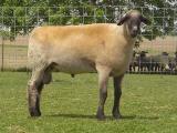 Hampshire  sheep - cxvris jishebi