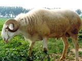Han  sheep - cxvris jishebi