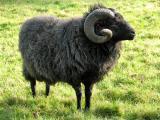 Hebridean  sheep - cxvris jishebi