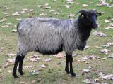 Heidschnucke  sheep - cxvris jishebi
