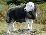 Herdwick  sheep - cxvris jishebi