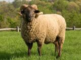 Hog Island  sheep - cxvris jishebi