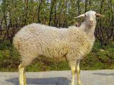 Hu  sheep - cxvris jishebi