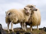 Icelandic  sheep - cxvris jishebi