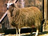 Imroz  sheep - cxvris jishebi