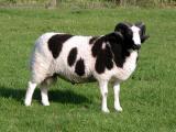 Jacob  sheep - cxvris jishebi