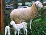 Jezersko-Solcava  sheep - cxvris jishebi