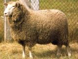 Kamieniec  sheep - cxvris jishebi
