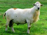 Katahdin  sheep - cxvris jishebi