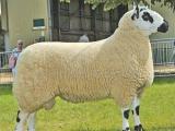 Kerry Hill  sheep - cxvris jishebi
