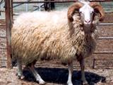 Kivircik  sheep - cxvris jishebi