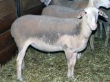 Lacaune  sheep - cxvris jishebi