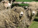 Leicester Longwool  sheep - cxvris jishebi