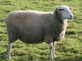 Leine  sheep - cxvris jishebi