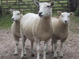 Lleyn  sheep - cxvris jishebi