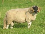 Lonk  sheep - cxvris jishebi