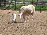 Manchega  sheep - cxvris jishebi