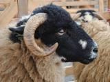 Masham  sheep - cxvris jishebi