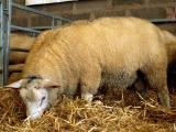 Meatlinc  sheep - cxvris jishebi