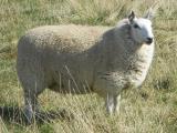 Miniature Cheviot  sheep - cxvris jishebi