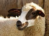 Mirror  sheep - cxvris jishebi