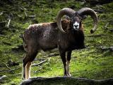 Mouflon  sheep - cxvris jishebi