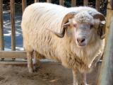 Navajo Churro  sheep - cxvris jishebi