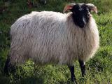 Norfolk Horn  sheep - cxvris jishebi
