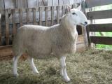 North Country Cheviot  sheep - cxvris jishebi