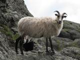 Old Norwegian  sheep - cxvris jishebi