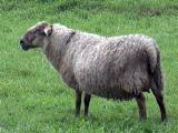 Saeftinger  sheep - cxvris jishebi