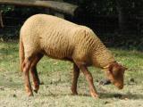 Solognote  sheep - cxvris jishebi