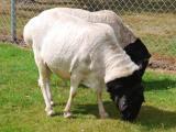 Somali  sheep - cxvris jishebi