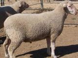 South African Meat Merino   sheep - cxvris jishebi