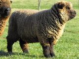 Southdown  sheep - cxvris jishebi