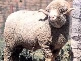 Spanish Merino  sheep - cxvris jishebi