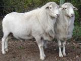 St. Croix  sheep - cxvris jishebi
