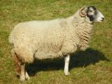 Swaledale  sheep - cxvris jishebi