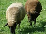 Swiss Black-Brown Mountain  sheep - cxvris jishebi