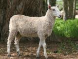 Targhee  sheep - cxvris jishebi
