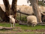 Tukidale  sheep - cxvris jishebi