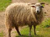 Valachian  sheep - cxvris jishebi