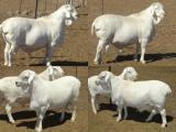 Van Rooy  sheep - cxvris jishebi