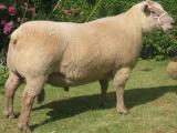 Vendéen  sheep - cxvris jishebi