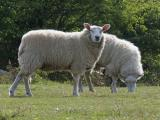 Whiteface Dartmoor  sheep - cxvris jishebi