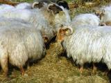 White Horned Heath  sheep - cxvris jishebi