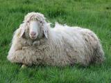 White Mountain  sheep - cxvris jishebi